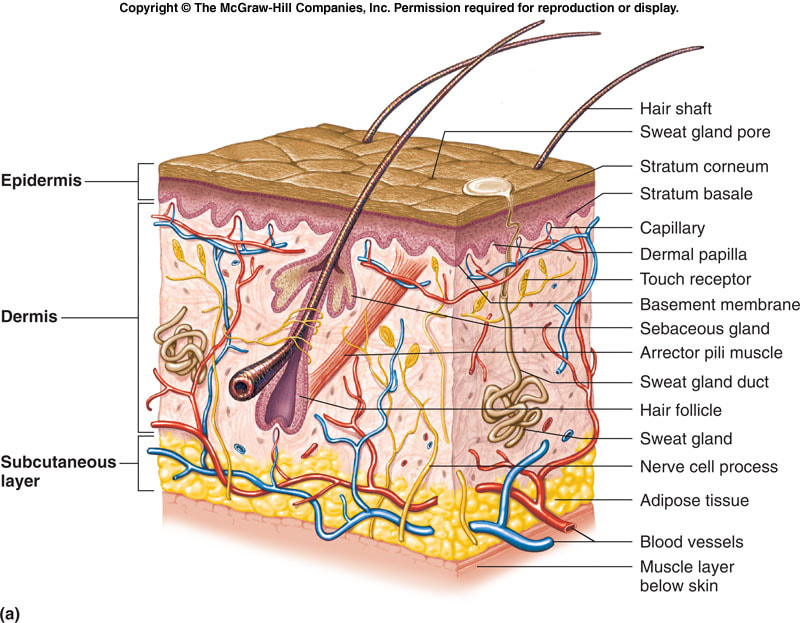 05 Integumentary System Isonbiology